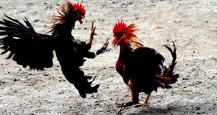 combat-de-coq