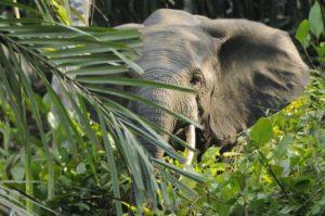 La lutte internationale contre le trafic d'ivoire, une guerre perdue d'avance ?
